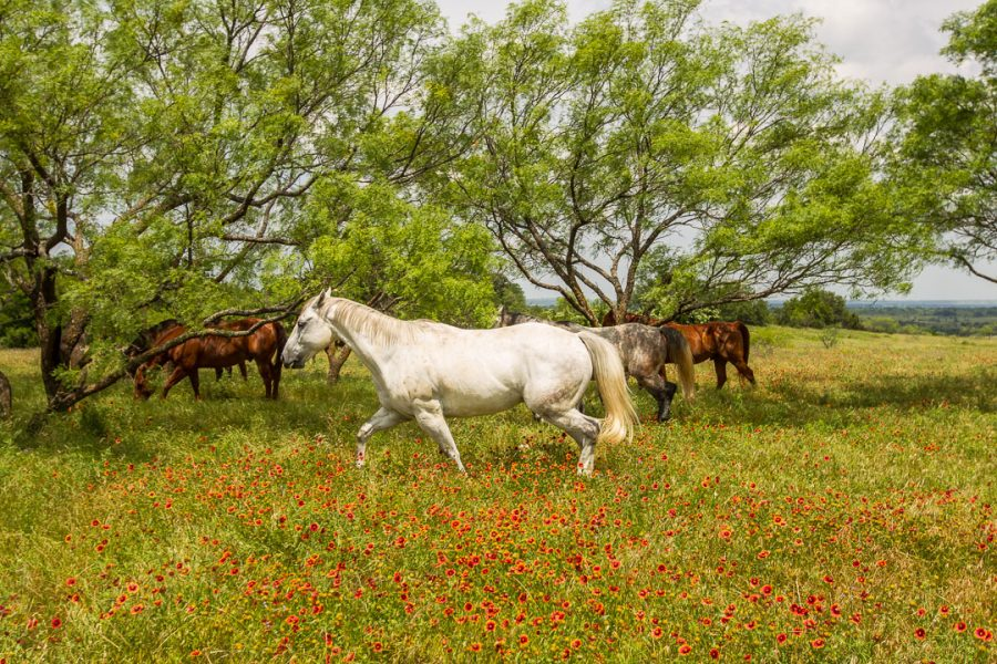 """Spring Flowers"" Saunders Twin V Ranch, Weatherford, Texas"
